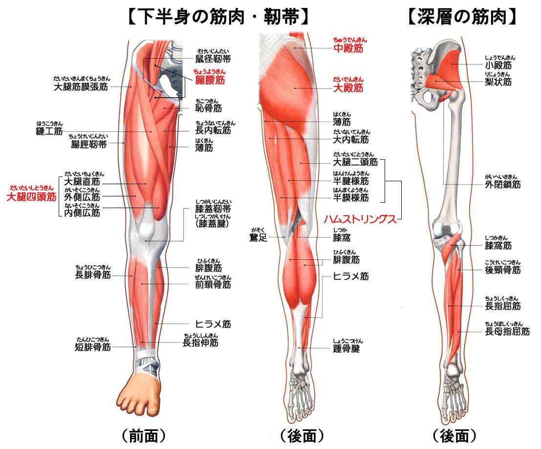 「下半身 筋肉」の画像検索結果