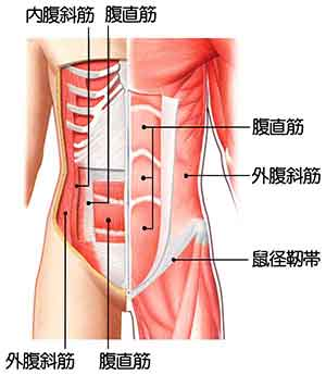 イラスト図解:お腹周りの筋肉