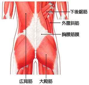 イラスト図解:背中~腰の筋肉