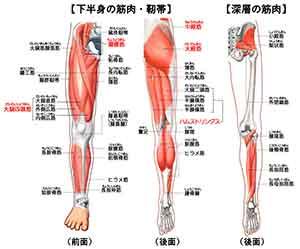 図解:下肢の筋肉・靭帯