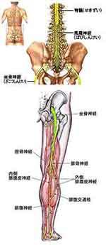 イラスト図解:下肢の神経
