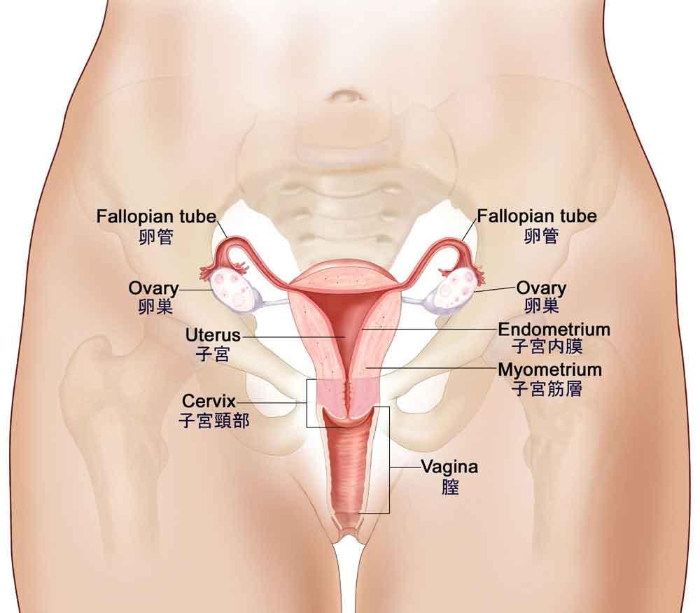 中年女性の陰部画像 解剖図:子宮・子宮内膜・子宮筋層