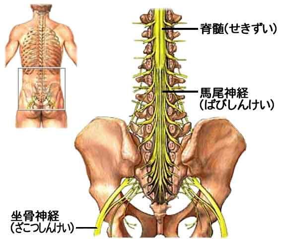 「腰神経」の画像検索結果